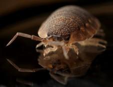 Belgams reikia vabzdžių klijų bandytojų