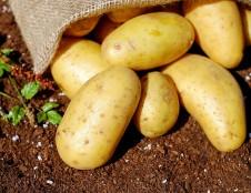 Ieško inovatyvių bulvių krakmolo gamybos technologijų