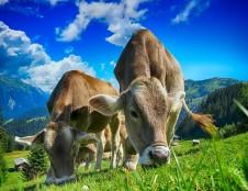 Britai ieško gamybos partnerių gyvūlių stebėjimo sistemai
